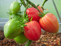 Red ox heart tomato . Stock Images