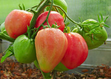 Red ox heart tomato . Royalty Free Stock Photo