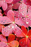 Red Oxalis Leaves. Close up of red oxalis leaves under the rain Stock Photo