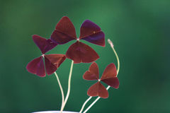 Red oxalis leaves Stock Photos