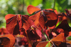 Red oxalis leaves Stock Images
