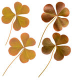 Red Oxalis leaves Royalty Free Stock Photos