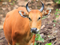Red oxen. Royalty Free Stock Image