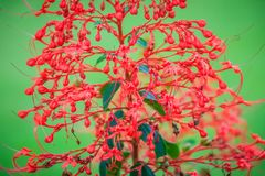 Red pagoda flower (Clerodendrum paniculatum), also known as hanuman kireetam, is a species of flowering plant in the genus Clerode. Ndrum. It is native to Stock Photo