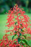 Red pagoda flower (Clerodendrum paniculatum), also known as hanuman kireetam, is a species of flowering plant in the genus Clerode. Ndrum. It is native to Stock Image