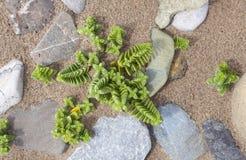 Red Pagoda plant, Crassula corymbulosa Royalty Free Stock Image