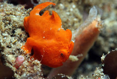 Red Painted Frogfish. Close-up of a Small Red Painted Frogfish (Antennarius Pictus), Lembeh Strait, Indonesia Royalty Free Stock Photo