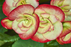 Red and pale white begonias Royalty Free Stock Images