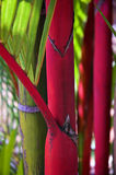 Red Palm. Sealing Wax Palm (Crytostachys lakka) in Hilo, Hawaii royalty free stock photos