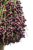 Red palm fruit on the tree Royalty Free Stock Photos