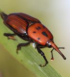Red palm weevil Stock Image