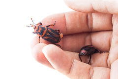 Red palm weevil Stock Photos