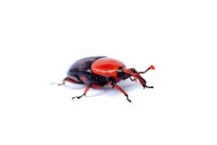 Red palm weevil Stock Photography