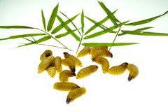 Red palm weevil larvae stock image