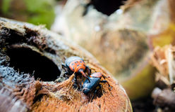 Red palm weevil Stock Photo