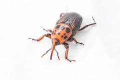 Red palm weevil Royalty Free Stock Photo