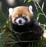 Red Panda. With bamboo branches Stock Images