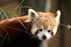 Red panda. Portrait Stock Photo