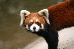 Red Panda. A red panda stands nearby a water pool Stock Photos