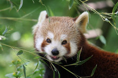 Red panda. Looking into the eyes of a red panda Stock Photo
