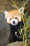 Red Panda. (Ailurus fulgens Latin: fire-colored cat Royalty Free Stock Images