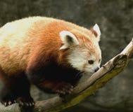 Red panda. Climbing a branch Stock Photo