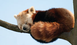 Red Panda. A red panda asleep in a tree stock image