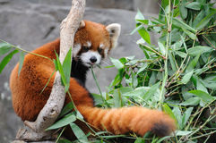 Free Red Panda Stock Photography - 19431452