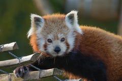 Red Panda 2016-01-08-00019 Stock Photography