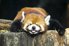 Free Red Panda Stock Image - 21068121