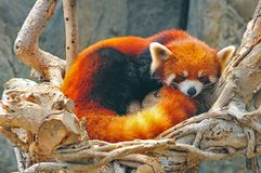Red panda. Sleeping red panda at the ocean park hong kong Royalty Free Stock Image
