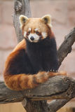 Red Panda. A red panda in zoo stock photos