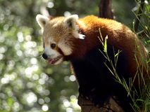 Red Panda. A gorgeous photo of a red panda (Ailurus fulgens, also known as the shining-cat) with bokeh in the background Royalty Free Stock Photos