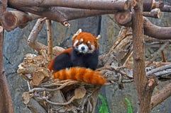 Red panda. Curious looking red panda at the ocean park hong kong stock images