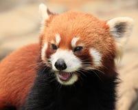 Red panda. Endangered animal in Hong Kong Ocean Park Stock Images