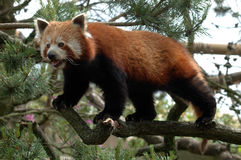 Red Panda. Standing on a Tree branch Stock Photo