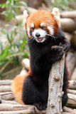 Red Panda. The red panda is a small arboreal mammal native to the eastern Himalayas and southwestern China. It is the only extant species of the genus Ailurus Stock Photo