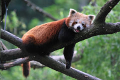 Red panda. Rests on tree branch stock images