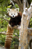 Red Panda Sitting in Tree Looking at Camera Royalty Free Stock Image