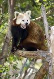 Red Panda Wildlife Pants Sitting in Tree Daytime Royalty Free Stock Images