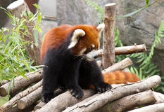 Red panda. Stock Images