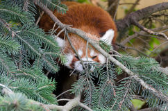 Red Panda Stock Photo
