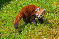 Red panda. Bear - animal background Stock Image