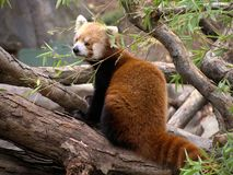 Red Panda. Among tree limbs royalty free stock image