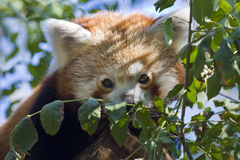 Red panda. Or Lesser panda (Ailurus fulgens stock photo