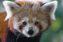 Red panda. Or Lesser panda (Ailurus fulgens stock photography