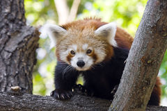 Red panda. Or Lesser panda (Ailurus fulgens royalty free stock photos
