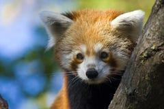 Red panda Stock Images