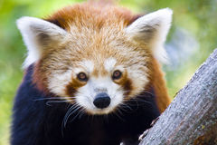 Red panda. Or Lesser panda (Ailurus fulgens royalty free stock photography