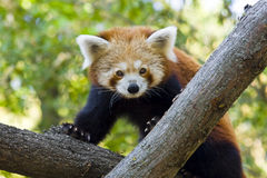 Red panda. Or Lesser panda (Ailurus fulgens stock images